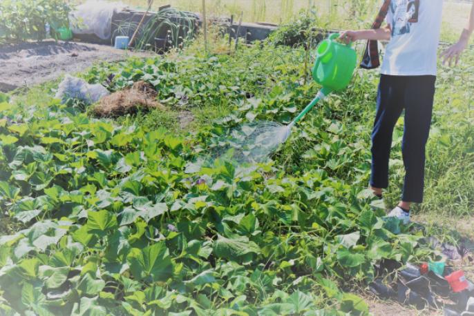 畑全体を覆う勢いを見せるさつまいもと水やりをする生徒の様子(生徒A撮影)