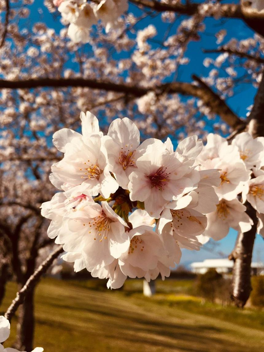 満開の久留米の桜の木